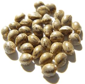 Konopné semínko celé 200g-1kg
